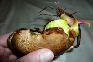 germination noyau mangue [soanity]